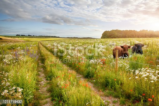 istock Flower meadow tracks and two cows 1211719432