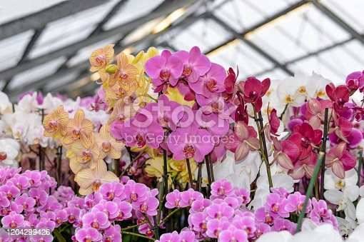 Cultivation of various types of orchids in a greenhouse. Phalaenopsis orchid or Moth dendrobium Orchid flowers at tropical garden.