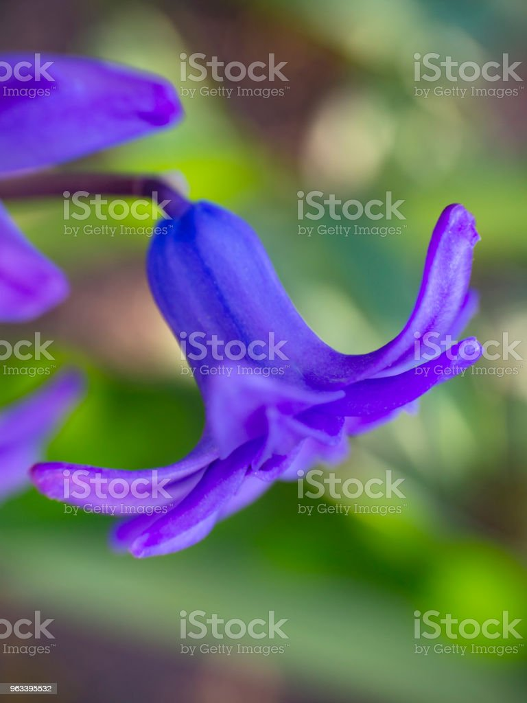 Flower of a beautiful purple bell - Zbiór zdjęć royalty-free (Bez ludzi)