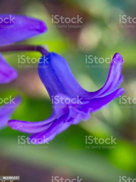 Kwiat Pięknego Fioletowego Dzwonka - zdjęcia stockowe i więcej obrazów Bez ludzi