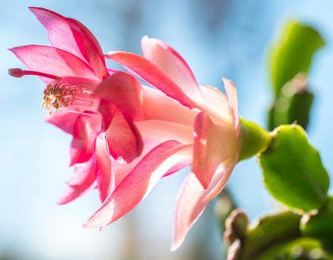 Close up of a pink cactus flower.  Epiphyllum (Orchid Cactus) Closeup