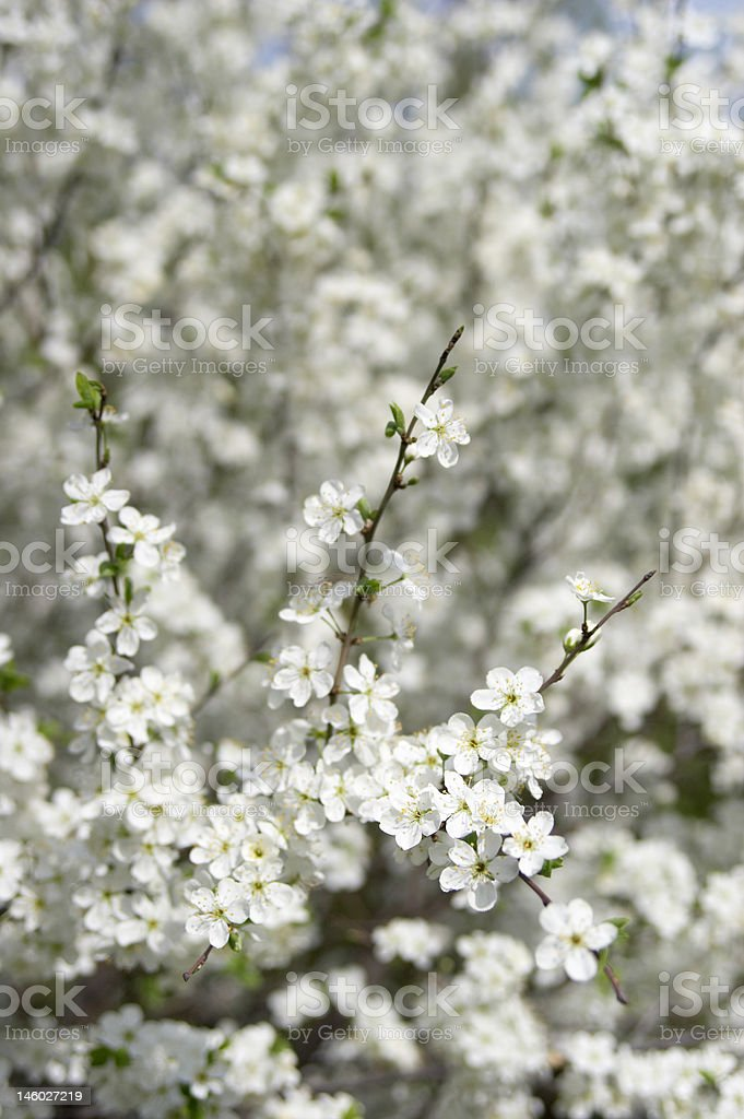 Flower of a cherry close up stock photo