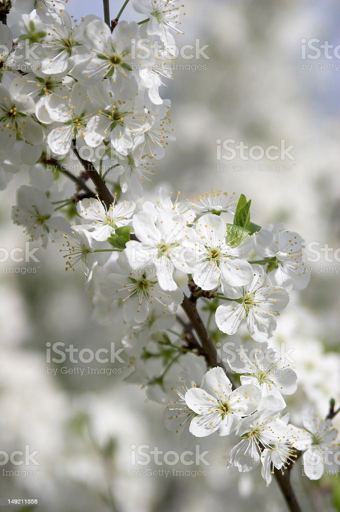 Flower of a cherry stock photo