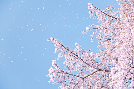 Flower of a cherry tree and the blue sky