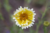 istock Flower of a coastal tidytips, Layia platyglossa 1251563306