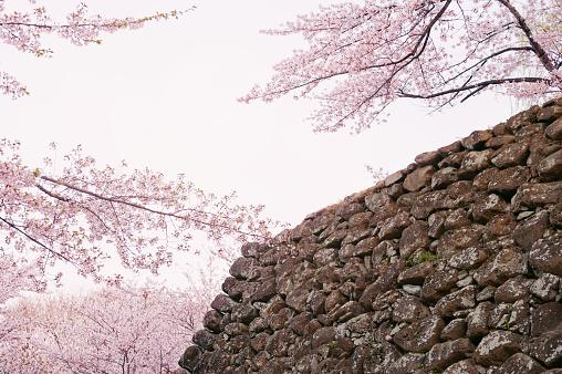 Flower of a full-blown cherry tree