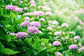花のアジザイ