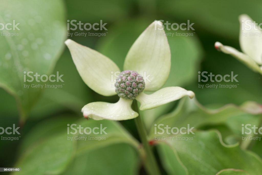 Flower of a Korean dogwood (Cornus kousa) - Royalty-free Asia Stock Photo