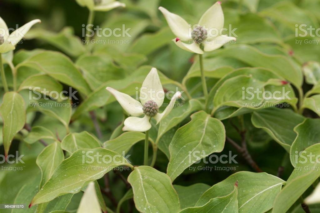 花の韓国ミズキ (ヤマボウシ) - アジア大陸のロイヤリティフリーストックフォト