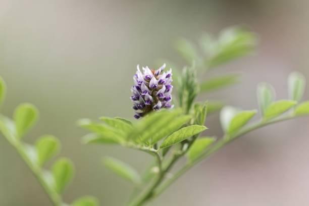 flower of a licorice bush (glycyrrhiza glabra) - liquirizia foto e immagini stock
