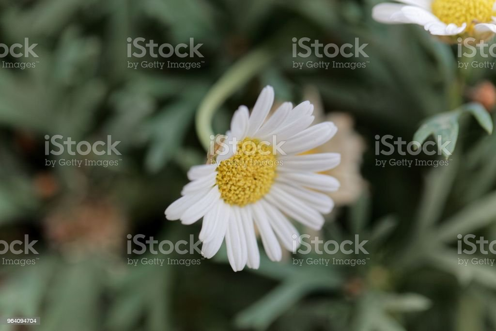 Flower of a marguerite daisy (Argyranthemum frutescens) - Royalty-free Beauty Stock Photo