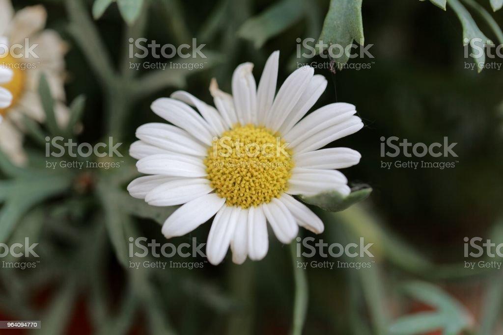 Flower of a marguerite daisy (Argyranthemum frutescens) - Royalty-free Beauty Stock Photo