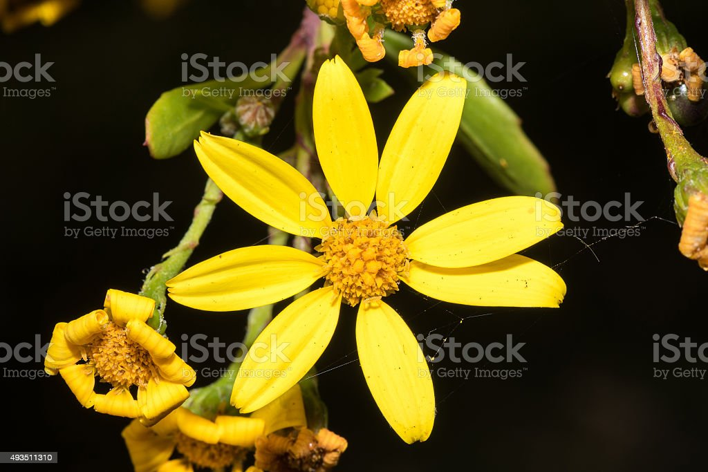 Flower of a Perdebos stock photo