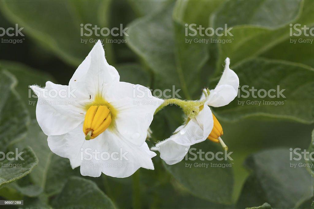 flower of a potato royalty-free stock photo