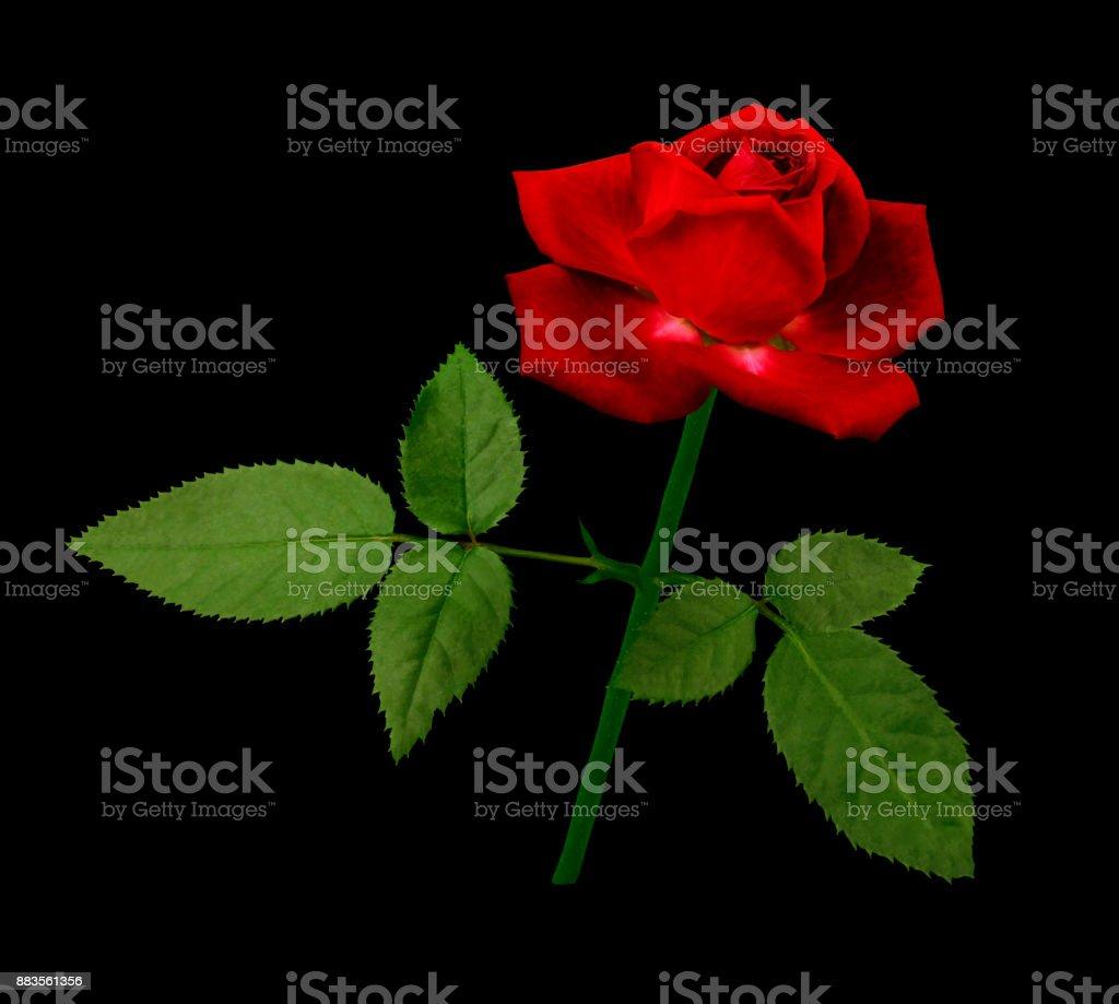 Una Flor De Una Rosa Roja Sobre Un Tallo Verde Con Hojas Flor Flores ...