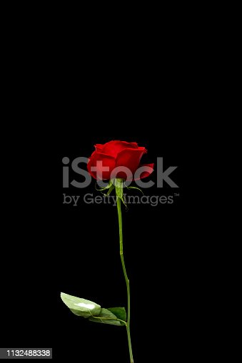 Flower of a red rose.