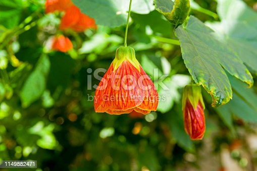 Flower of a room maple (other names -  Indian mallow,  velvetleaf, parlor maple, flowering maple, lat. - abutilon hybridum)
