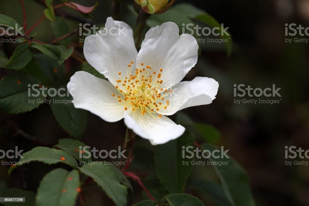 Flower of a Rosa abyssinica stock photo