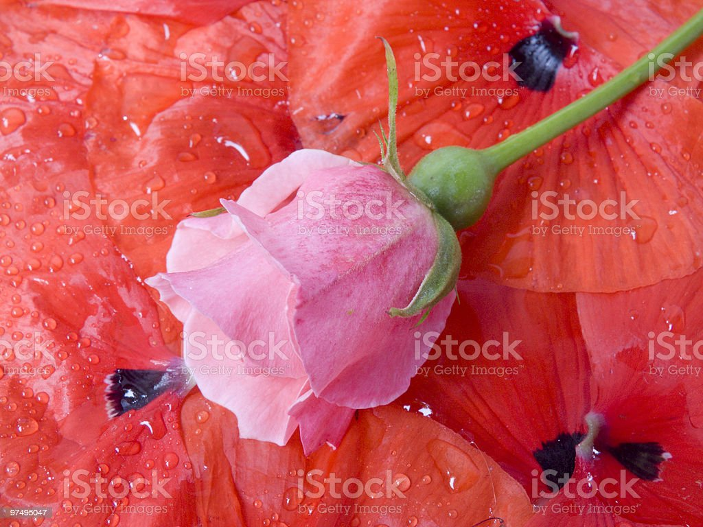 flower of a rose royalty-free stock photo