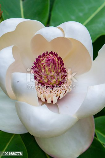 Flower of a water lily with white petals and green leaves. Photo of the close