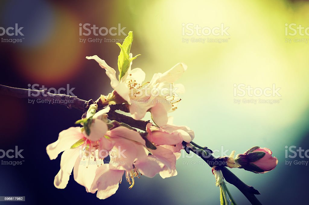 Flower of almond, Spring concept stock photo
