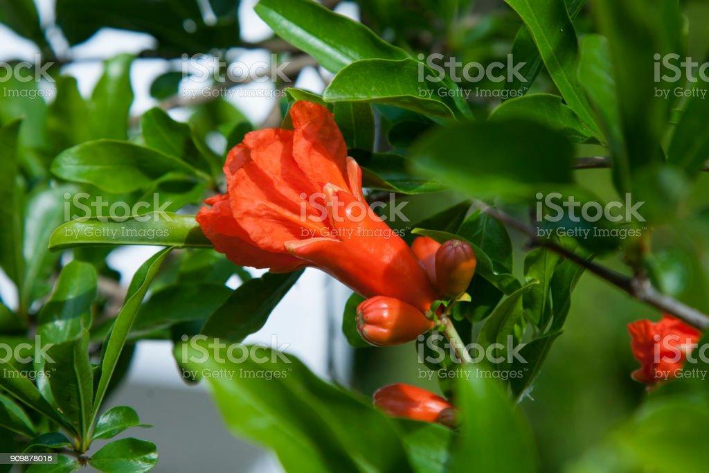 Blüte einer Bio Granatapfel auf Ast. Eierstock der Granatapfel-Frucht mit Blumen. Vorstellung von Landwirtschaft und Natur. – Foto