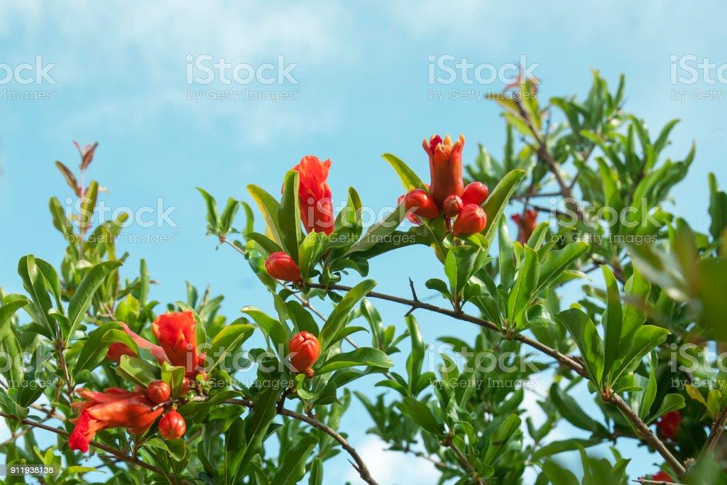Blüte einer Bio Granatapfel auf Ast. Eierstock der Granatapfel-Frucht mit Blumen. Landwirtschaft und Natur. – Foto