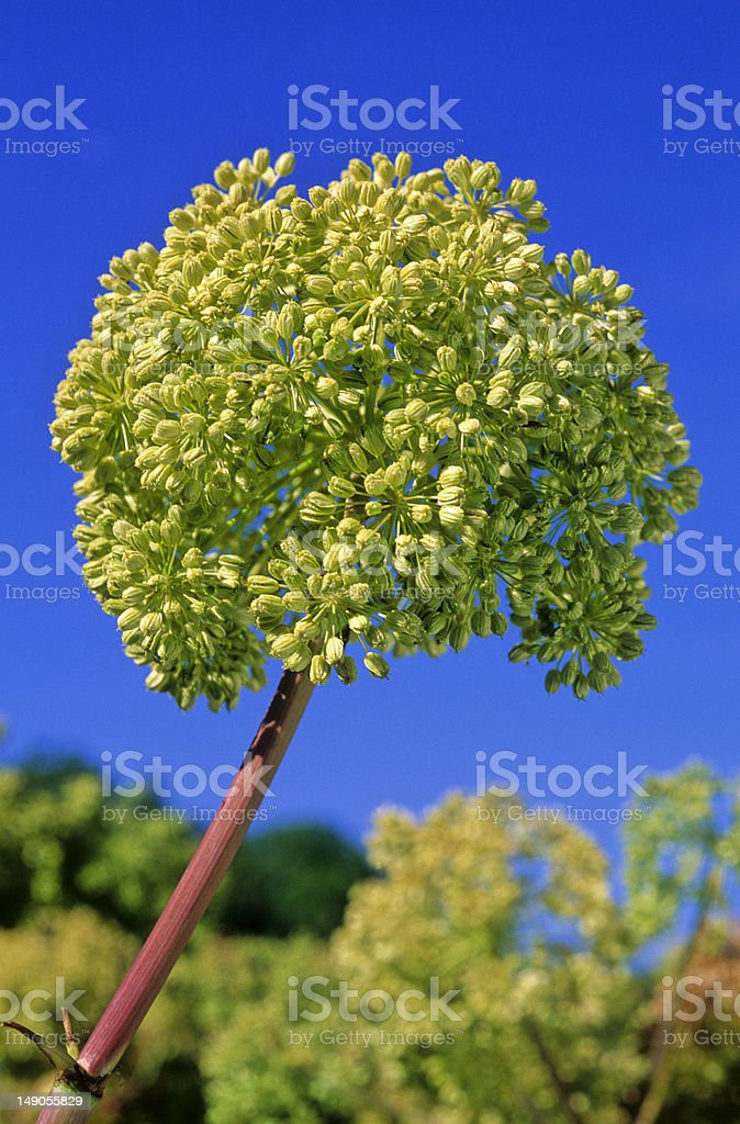 flower of angelica stock photo