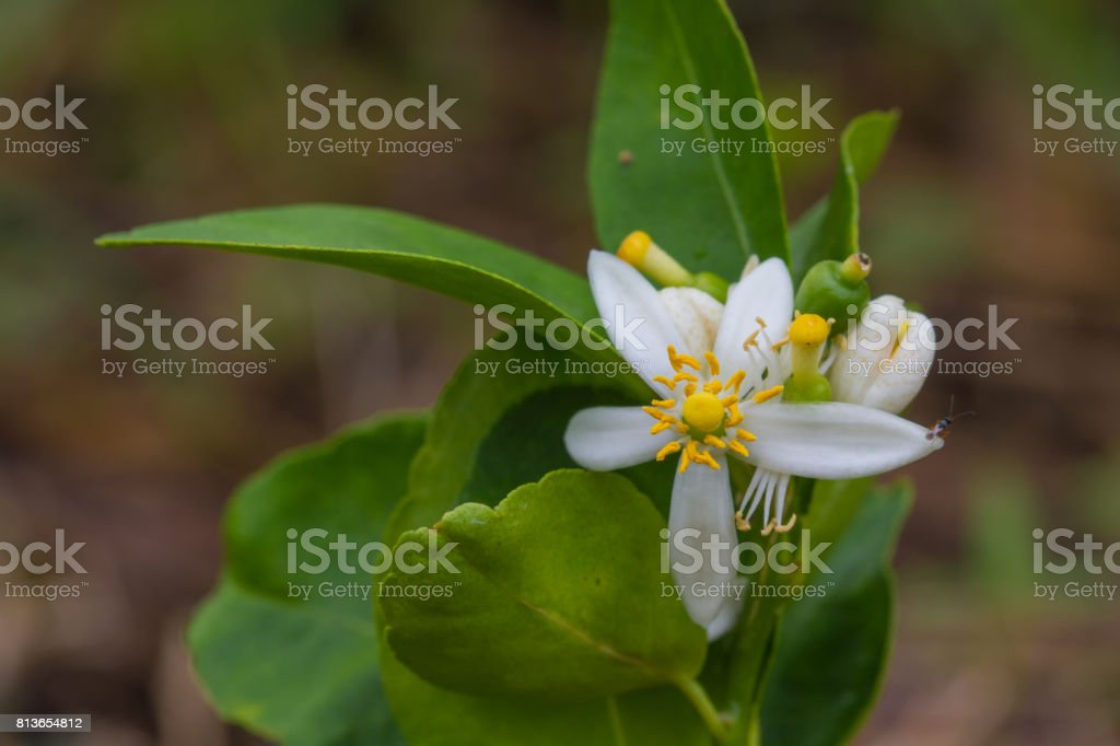Flower of bergamot fruits on tree stock photo