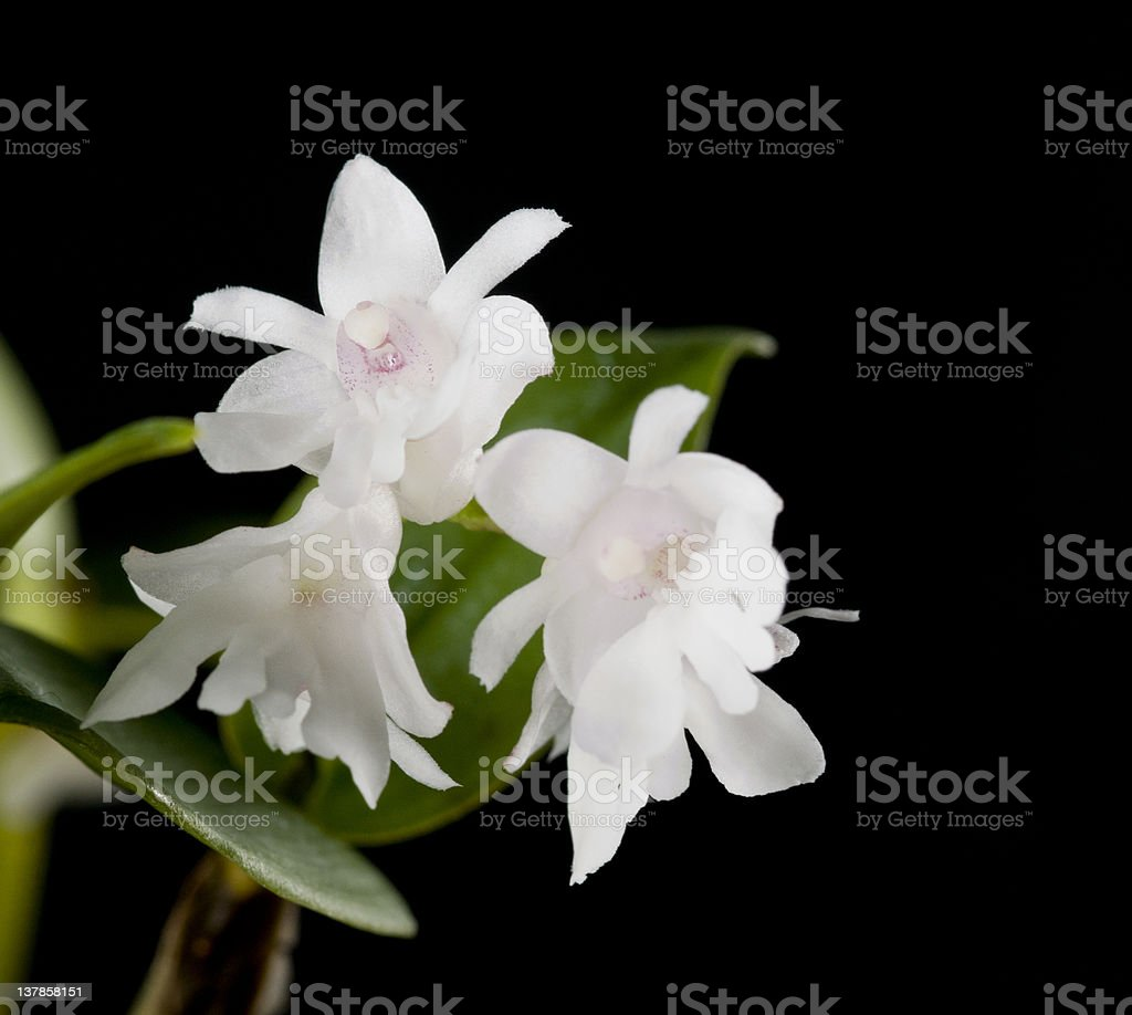 Flower of blooming  dendrobium aberrans orchid royalty-free stock photo