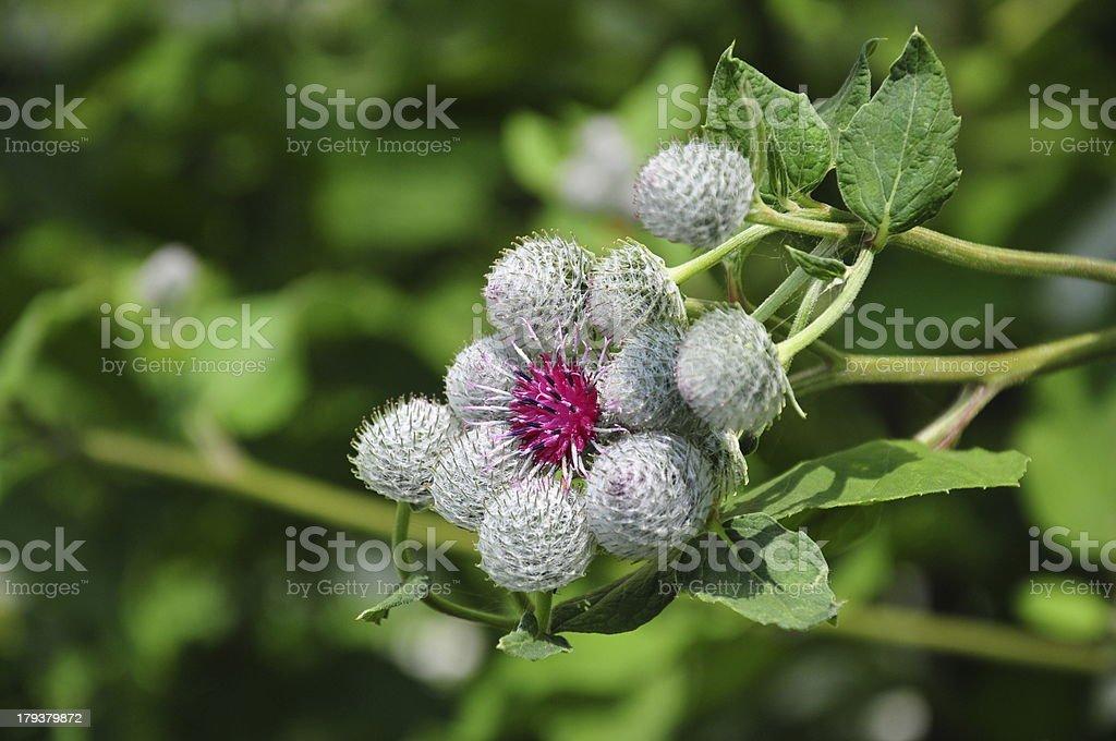 Flower of burdock royalty-free stock photo