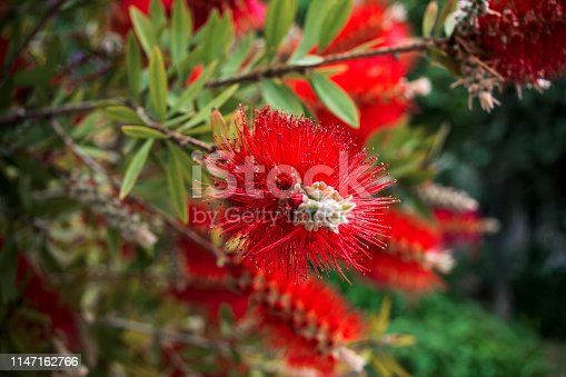 View of  long-red flowers of Callistemon Citrinus plant.