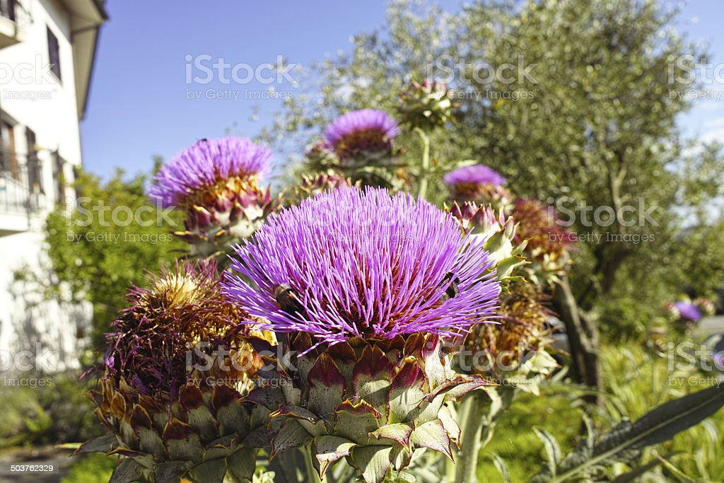flower of cardus stock photo