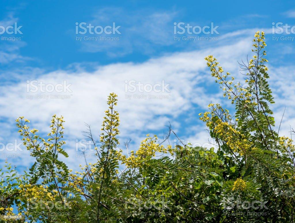 Flower of cassia tree with blue sky background stock photo more flower of cassia tree with blue sky background thai copper pod royalty free izmirmasajfo