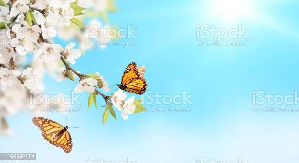 Flower of cherry and monarch butterflies on blue sky sunny background picture id1166662174?b=1&k=6&m=1166662174&s=612x612&h=j  jlnfzocq9fhfn6zn7zaah68kq6ysmvnriuiu77ca=