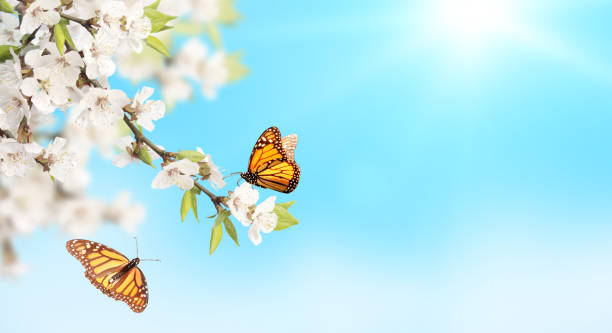 Flower of cherry and monarch butterflies on blue sky sunny background picture id1166662174?b=1&k=6&m=1166662174&s=612x612&w=0&h=4hifgfbx5ul1o 088jductvdulss731xpcyv7r m15e=
