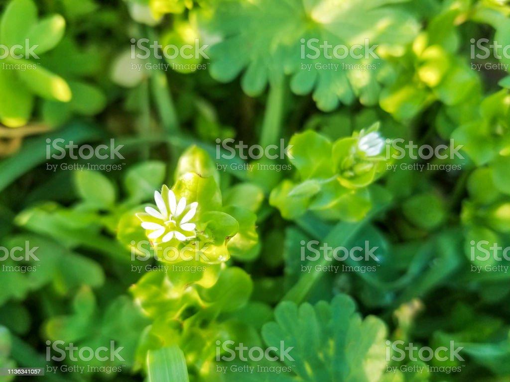 Flor de la hierba de gallina, craches, maruns o winterweed - foto de stock