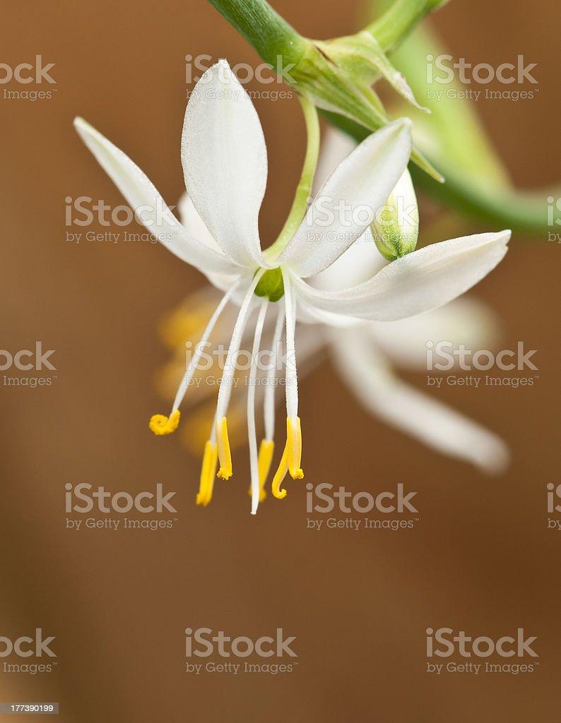 Flower of Chlorophytum comosum royalty-free stock photo