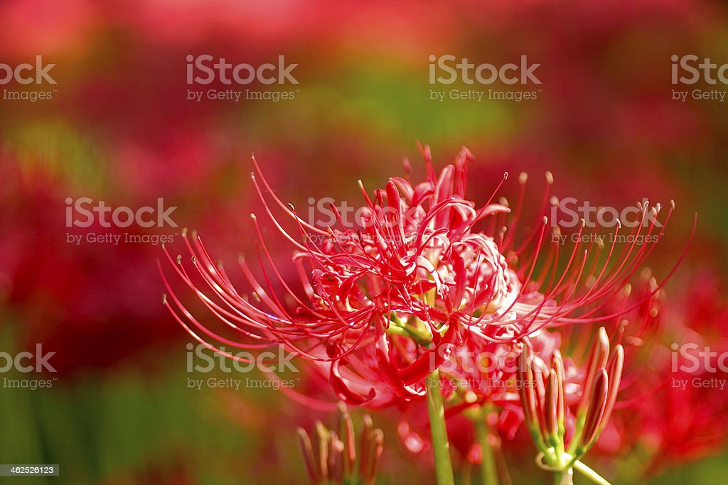 flower of Cluster amaryllis in Saitama,Japan stock photo