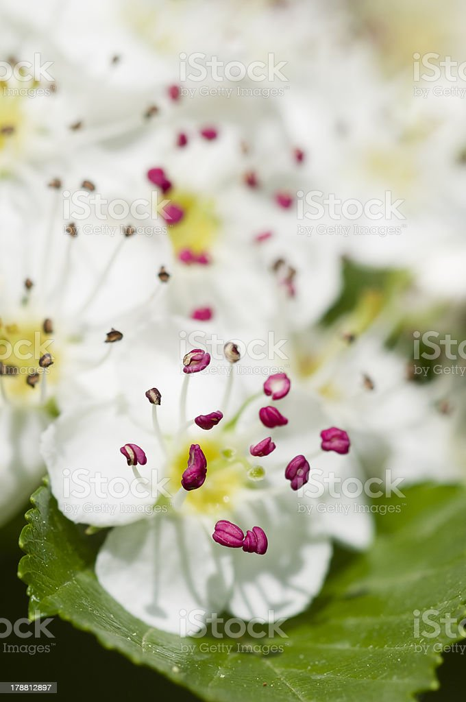 Flower of common hawthorn stock photo