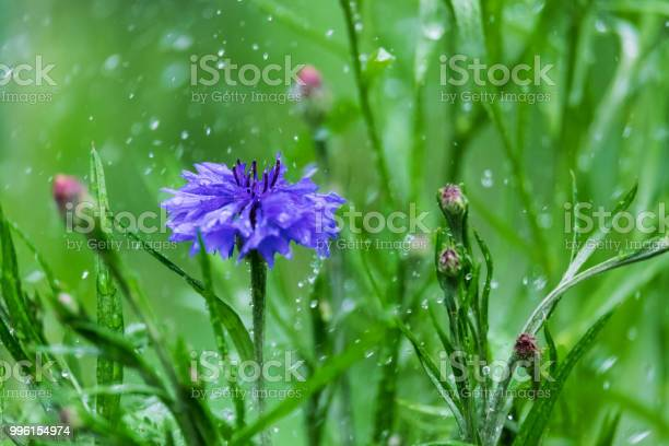 Flower of cornflowers in the rain picture id996154974?b=1&k=6&m=996154974&s=612x612&h=aghkkdchj0klage48df17n2luo5f8tlvt93ru2myws0=