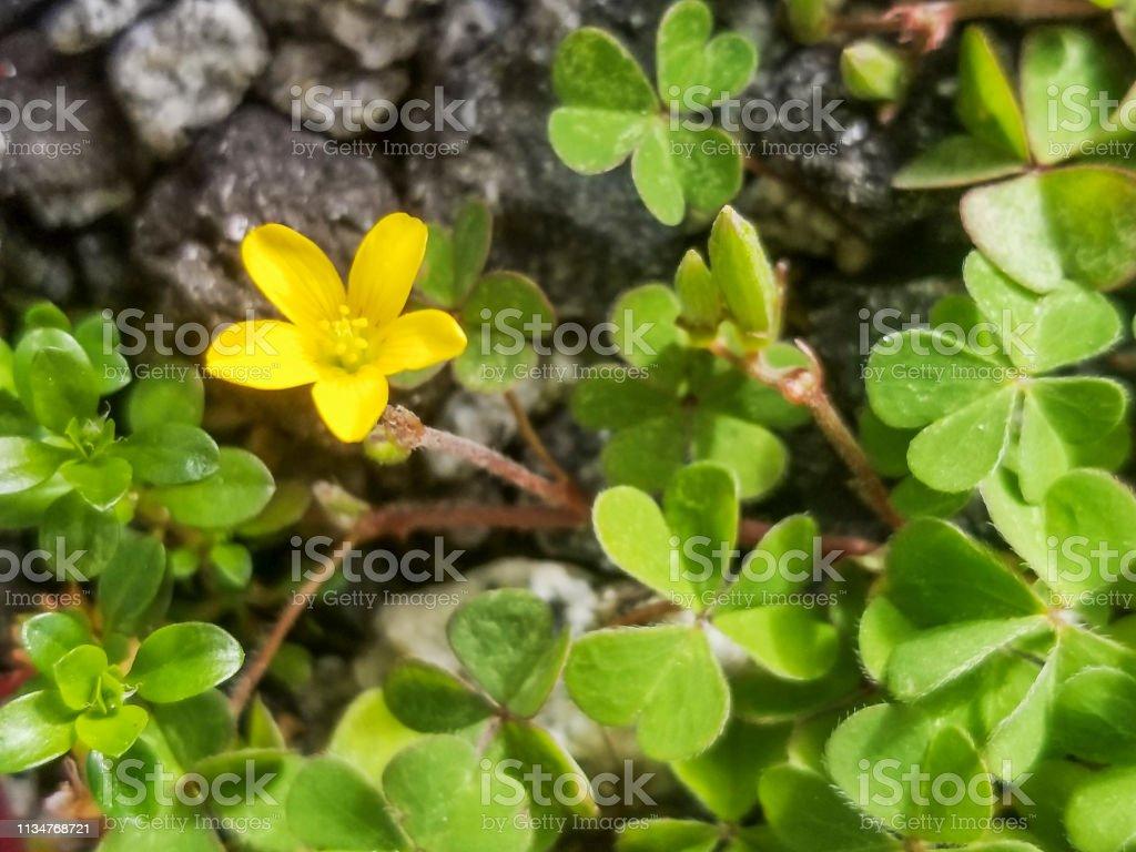 Flor de alazán rastrero o alazán amarillo procumbente - foto de stock