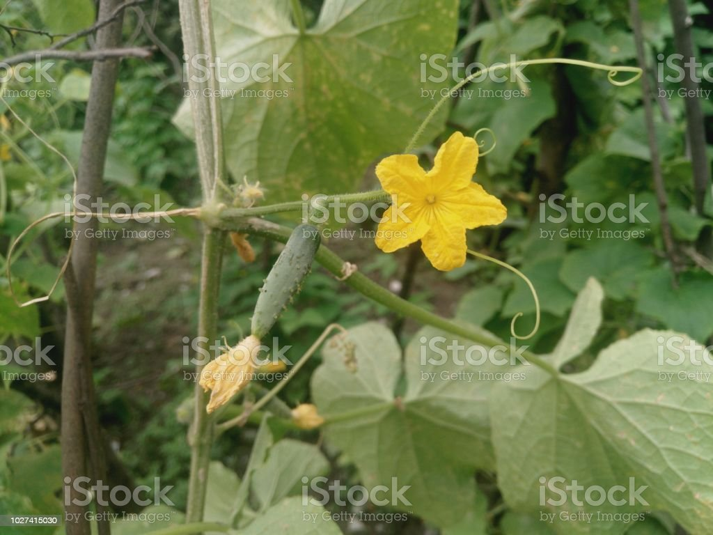 Flower Of Cucumber On Small Cucumbers Yellow Flowers Fruits Begin To