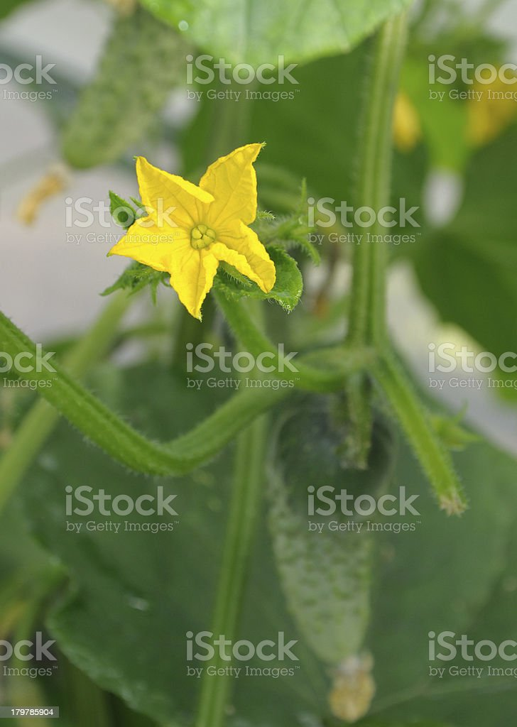 Flower of cucumber royalty-free stock photo