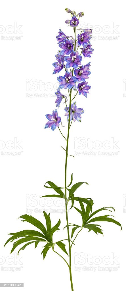 Flower of Delphinium (Larkspur), isolated on white background stock photo