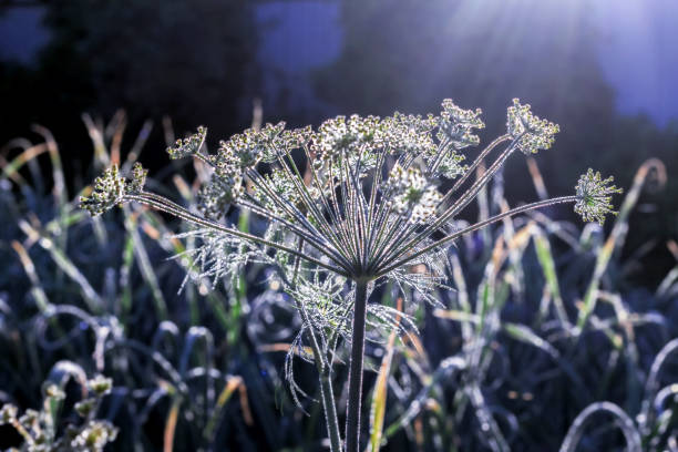 Flower of dill at dawn stock photo