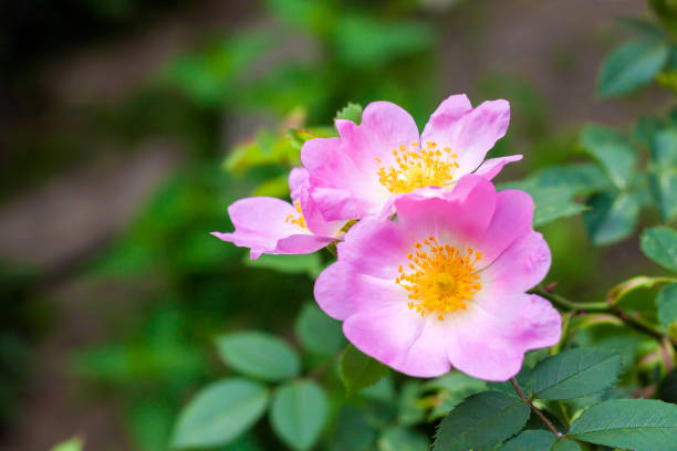 Flower of dog-rose closeup Flower of dog-rose closeup dog rose stock pictures, royalty-free photos & images