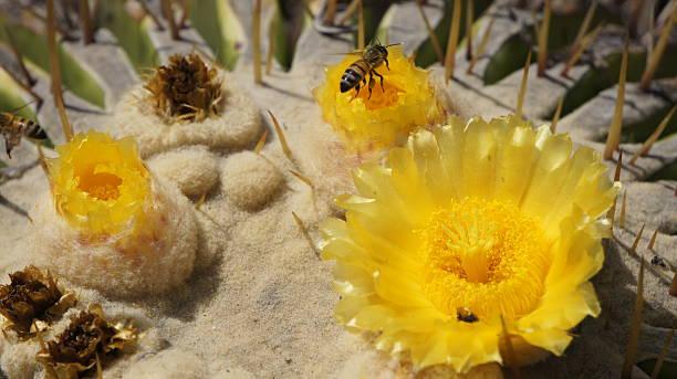 Flower of Echinocactus grusonii and Honey bee stock photo