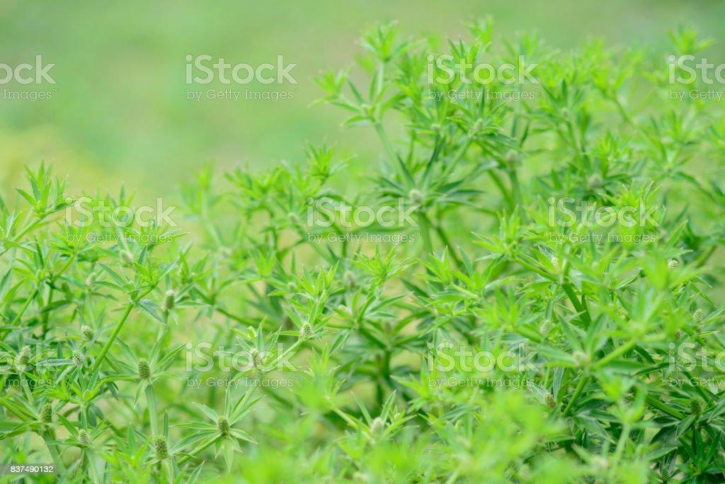Flower of edible eryngium foetidum stock photo