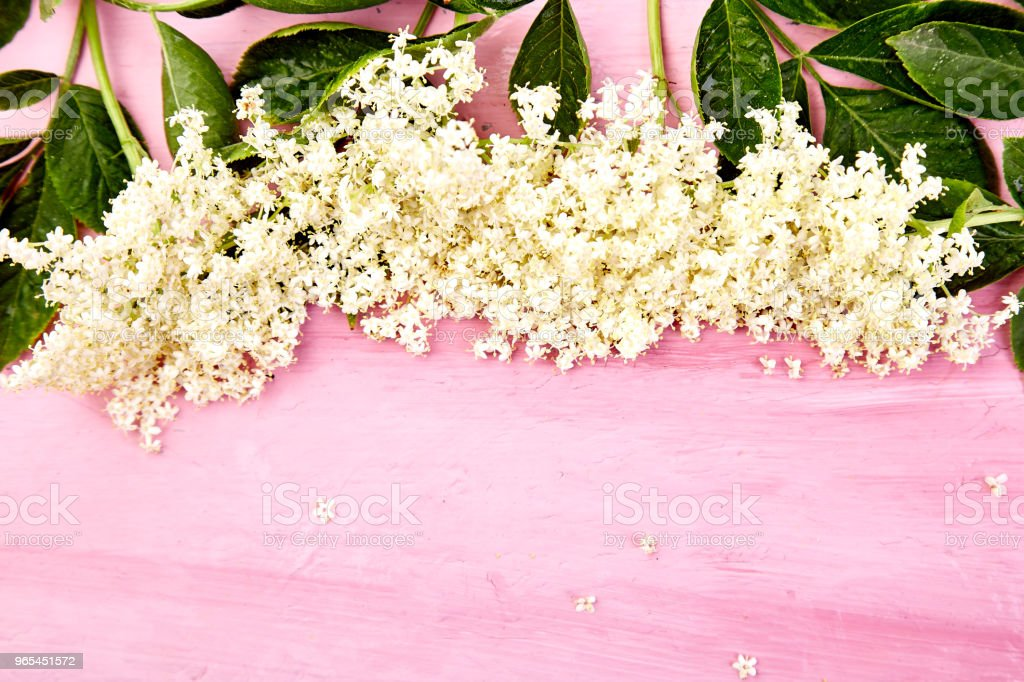 Flower of elder on pink background royalty-free stock photo